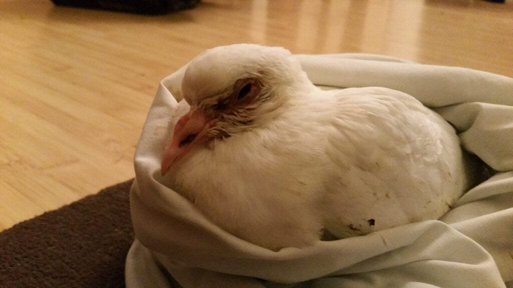Poorly White Pigeon from Battle x