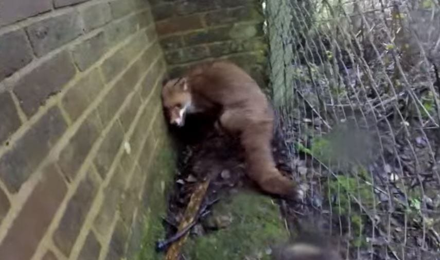 Piddinghoe Fox trapped behind a wall and fence