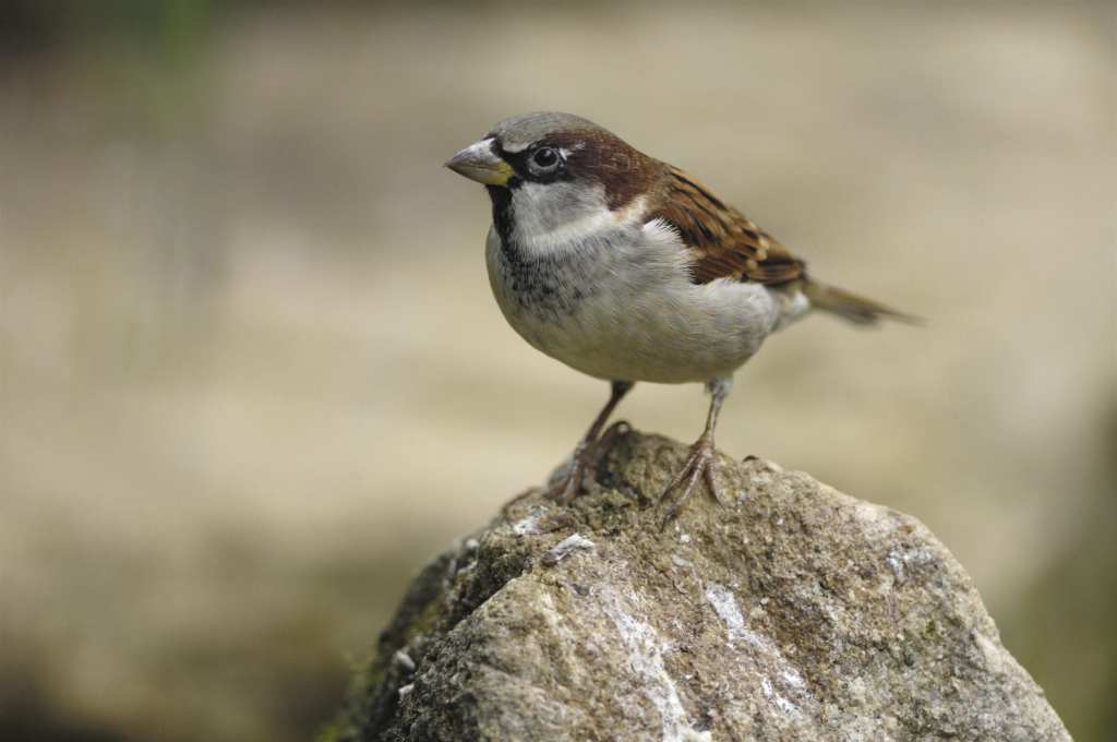 Sparrow. Photo_Ray Kennedy rspb-images
