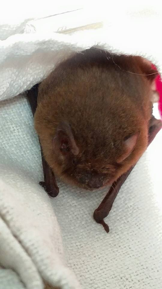 Pipistrelle Bat from Alfriston