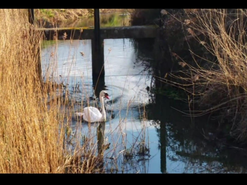 Shinewater Weir Swan Rescue 25th Feb 16 (2)
