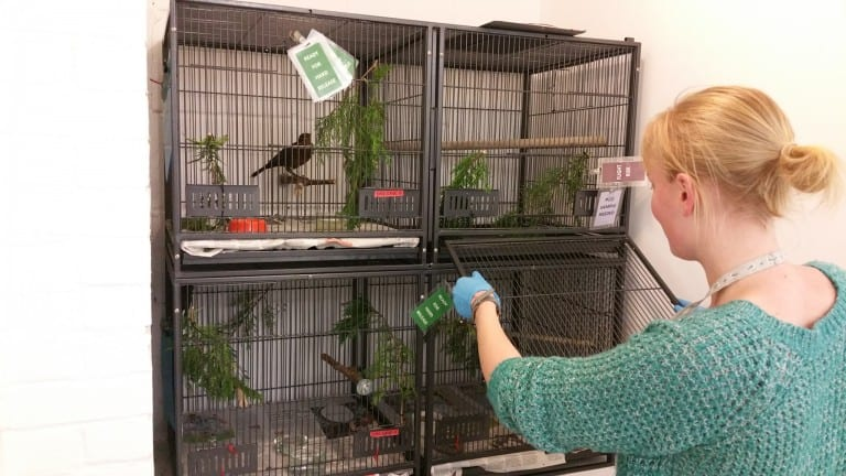 Volunteer Laura cleaning out a bird cage