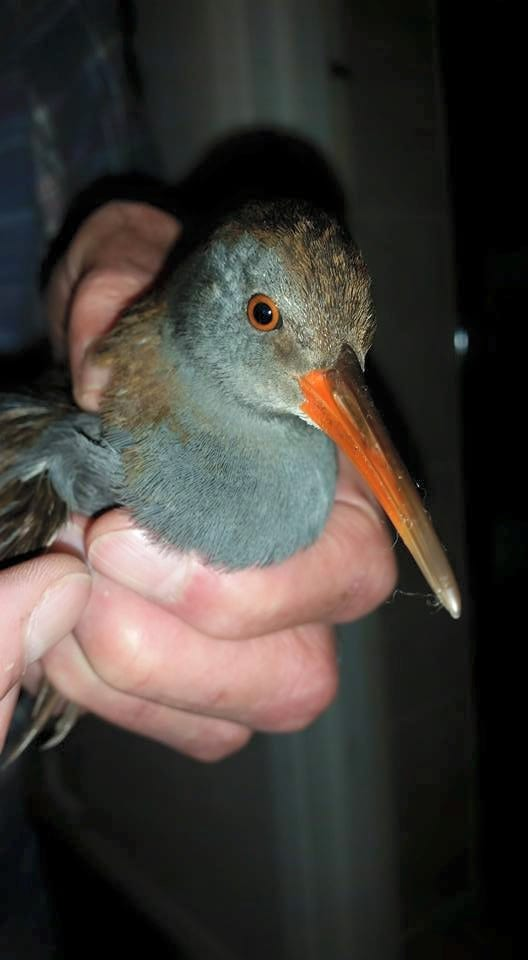 Waterrail from Eastbourne