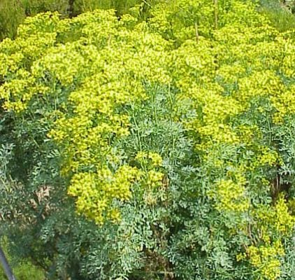 The rue plant used to dissipate congealed blood.