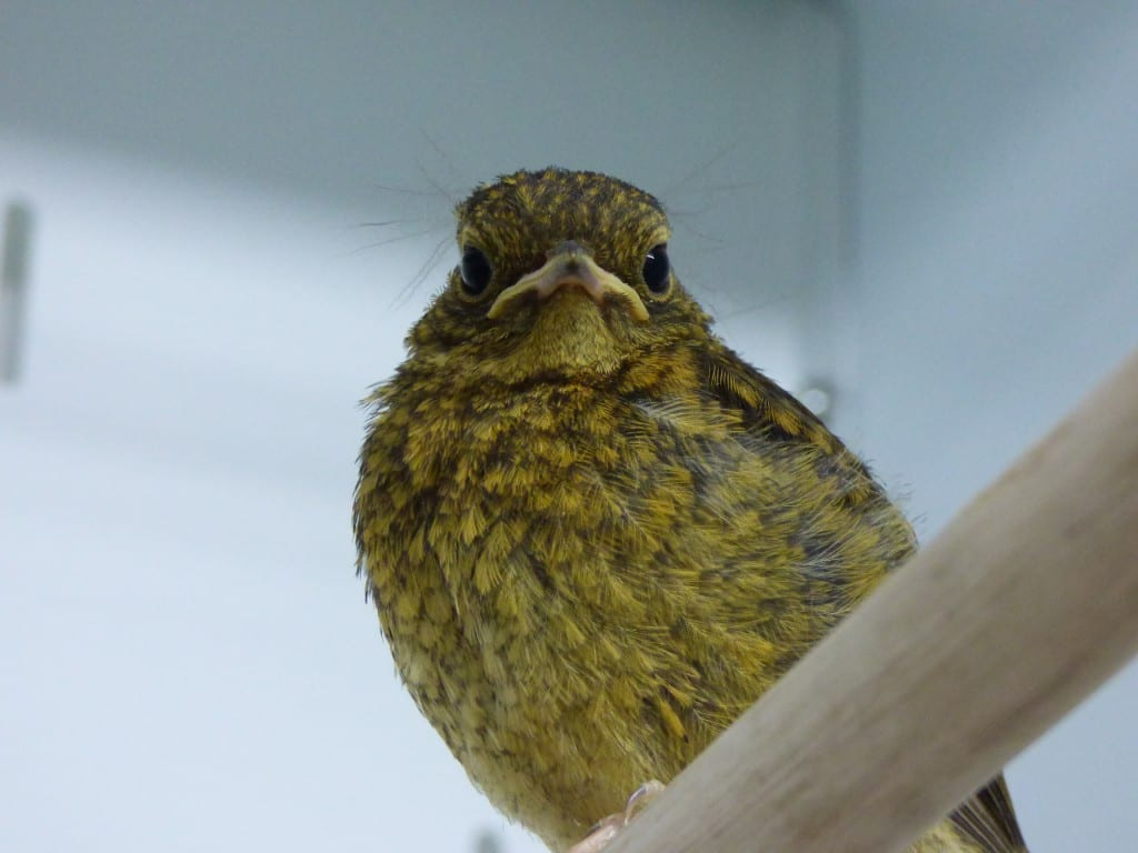 Our rapidly growing baby robin