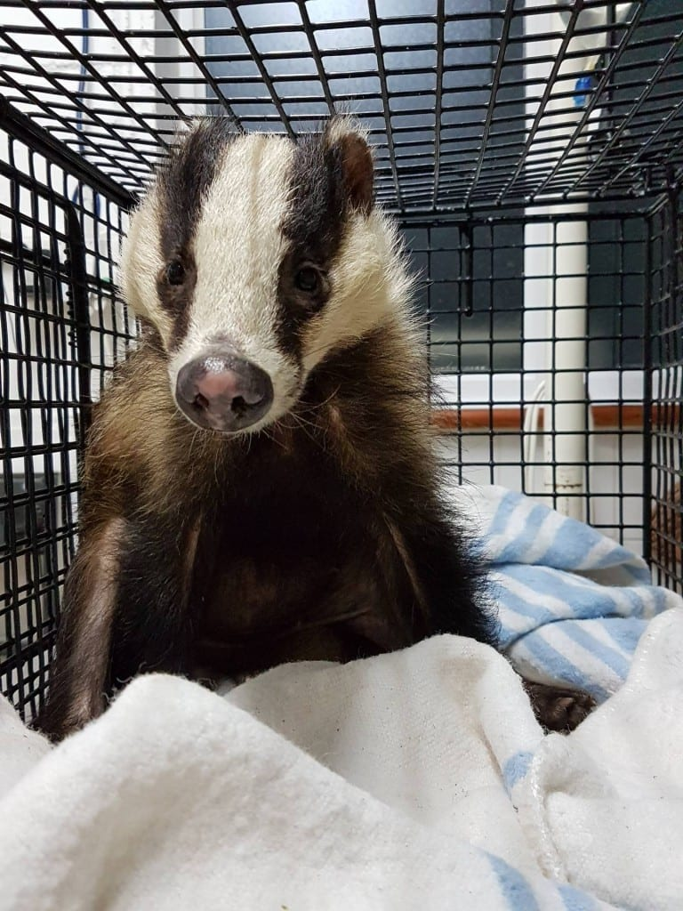 Badger rescued from Cowbeach (2)