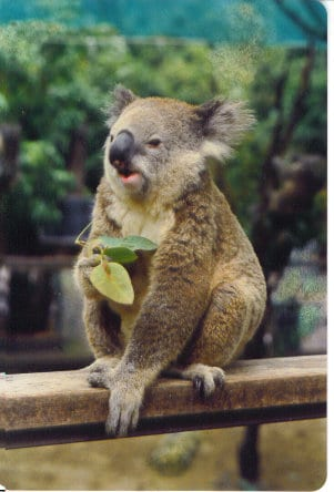 Koala having his lunch - Taken by Reginald J. Dunkley