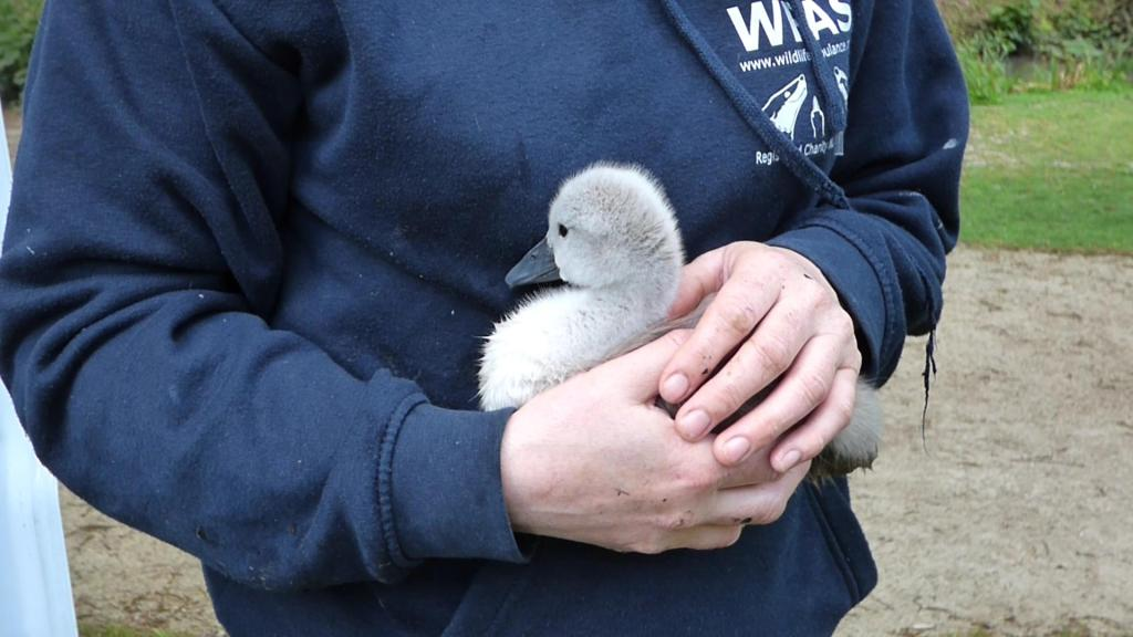Hampden Parl Cygnet Treat and Release 17th May 2016 (3)