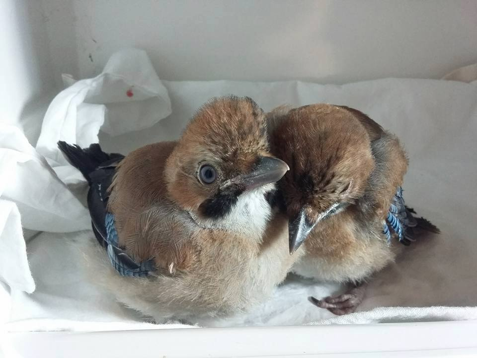 Two Jays taken on from Bexhill WIldlife Rescue
