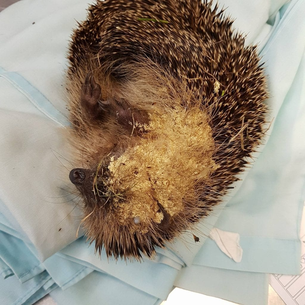 Hedgehog found covered in thousands of fly eggs