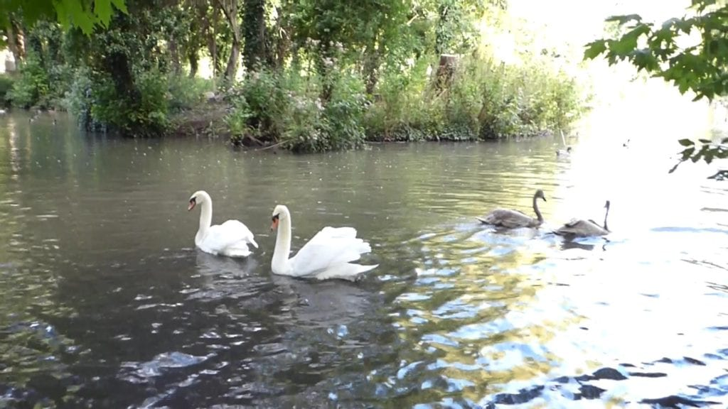decoy-pond-cygnet-release-5