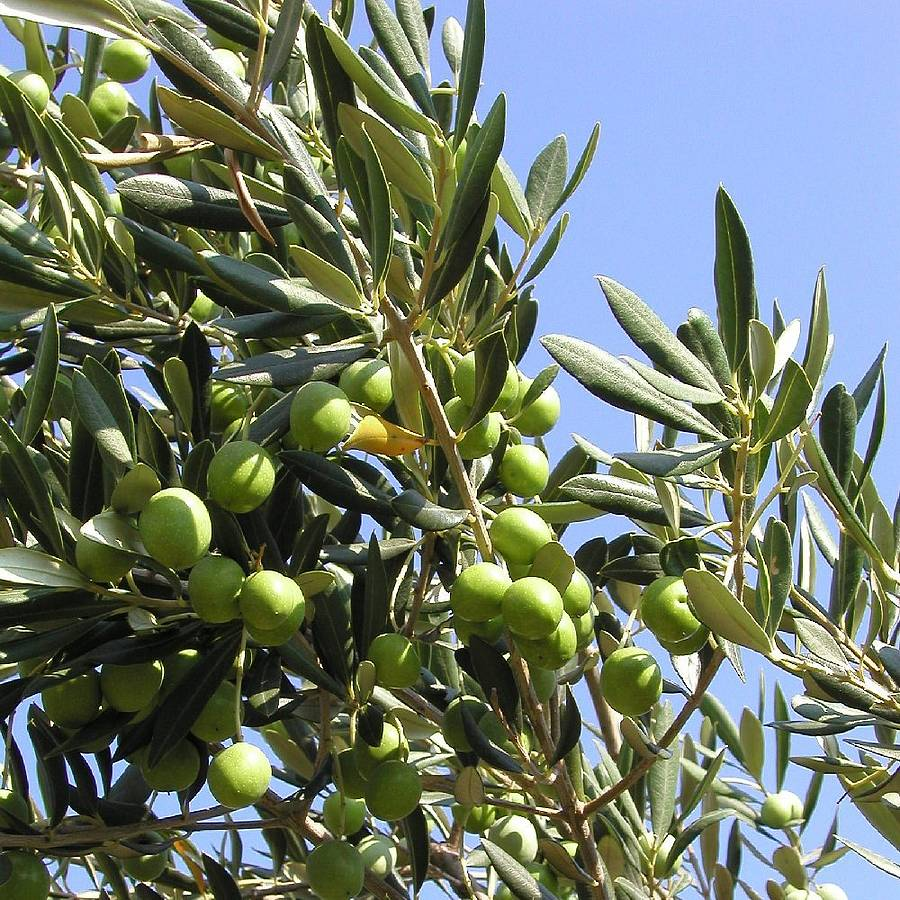 olives-glorious-olives