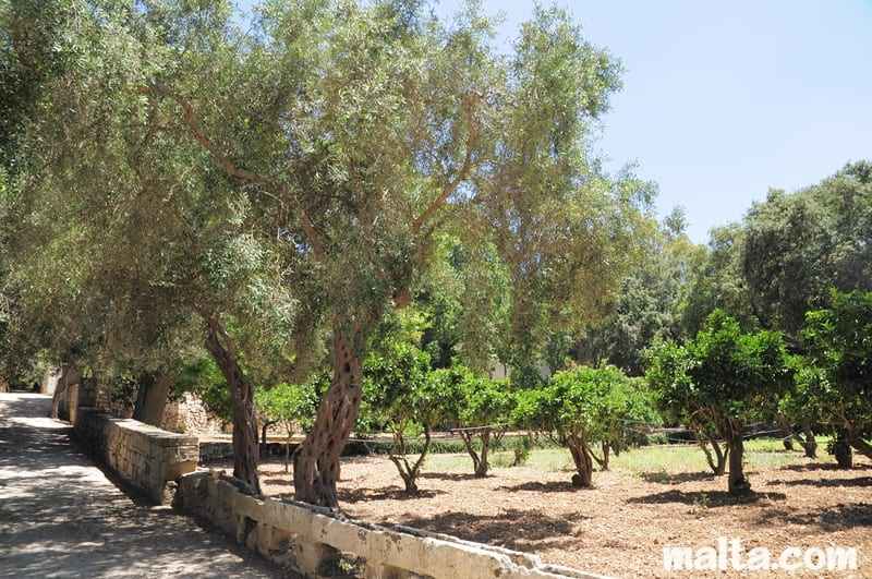 olive-trees-and-orange-trees-in-a-buskett-grove