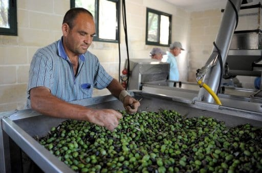 sorting-the-olives
