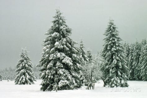 Norweigian-spruce-in-heavy-snow