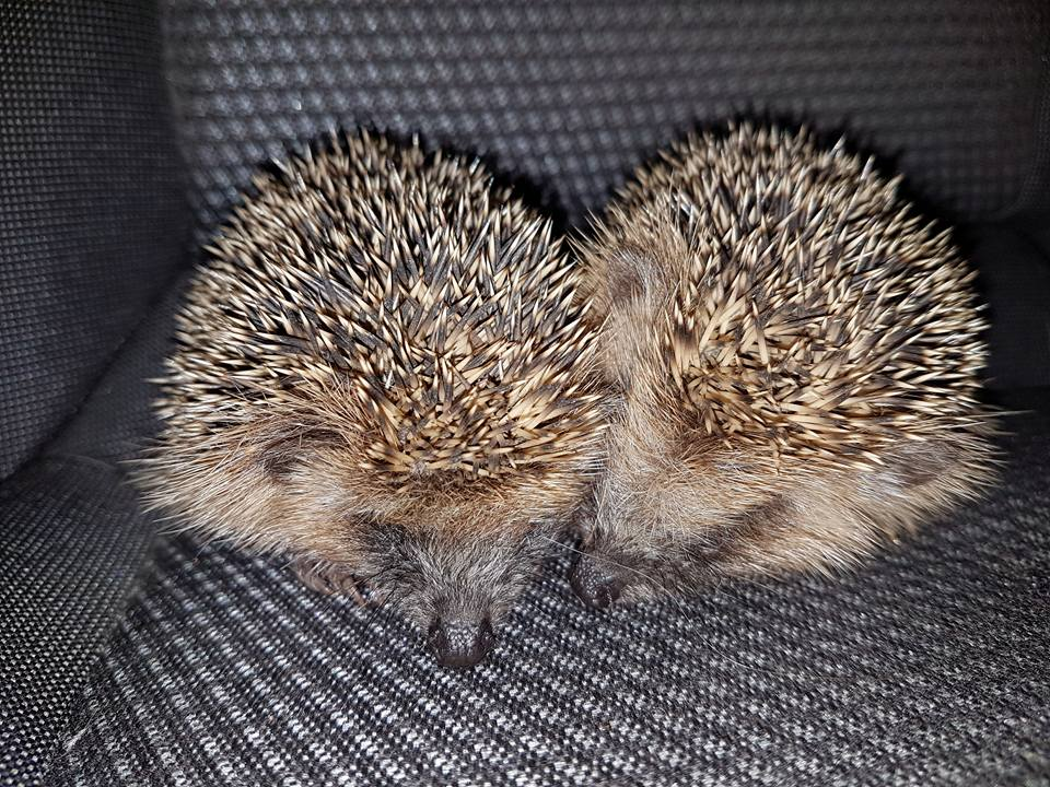 Two-hedgehogs-found-at-Eastbourne-Sports-Park