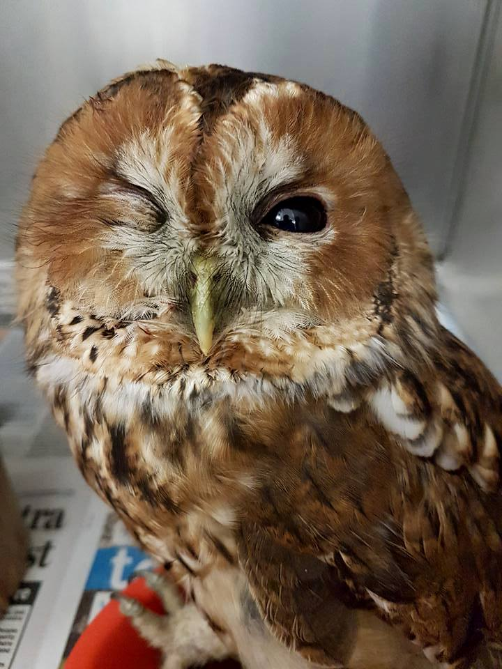 New-Road-Casualty-Tawny-Ow