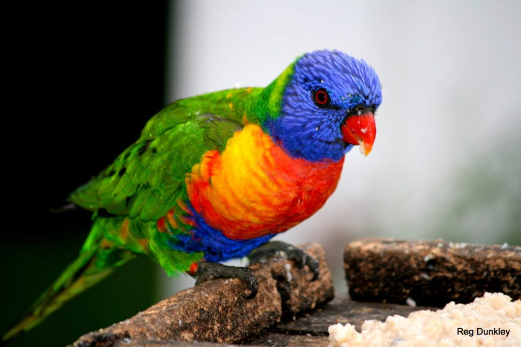 Bird Lorikeet close up