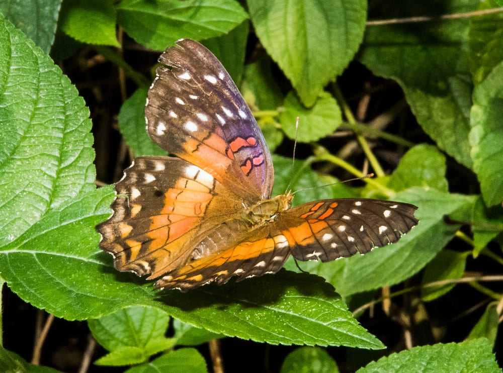 One-of-the-many-spectacular-butterflies