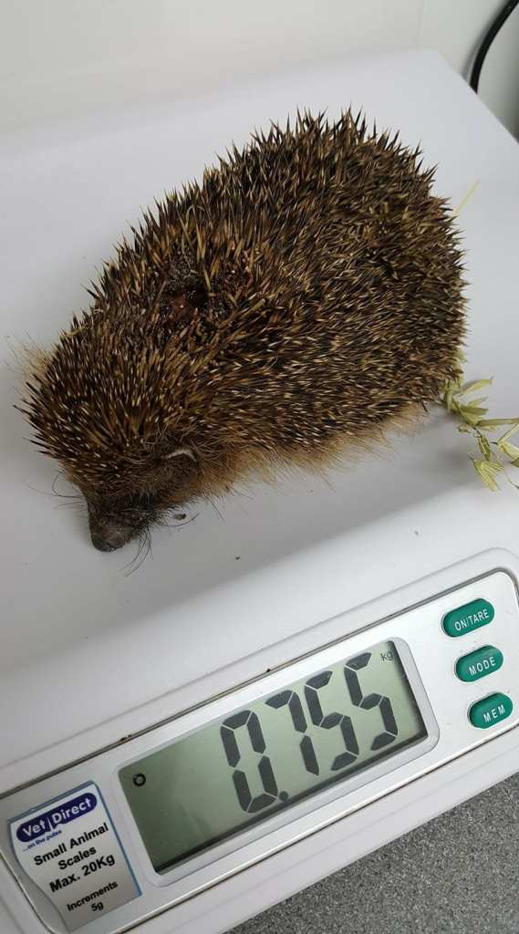 Injured Hedgehog from Seaford