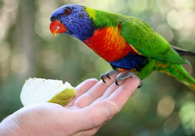 Bird Lorikeet hand feeding
