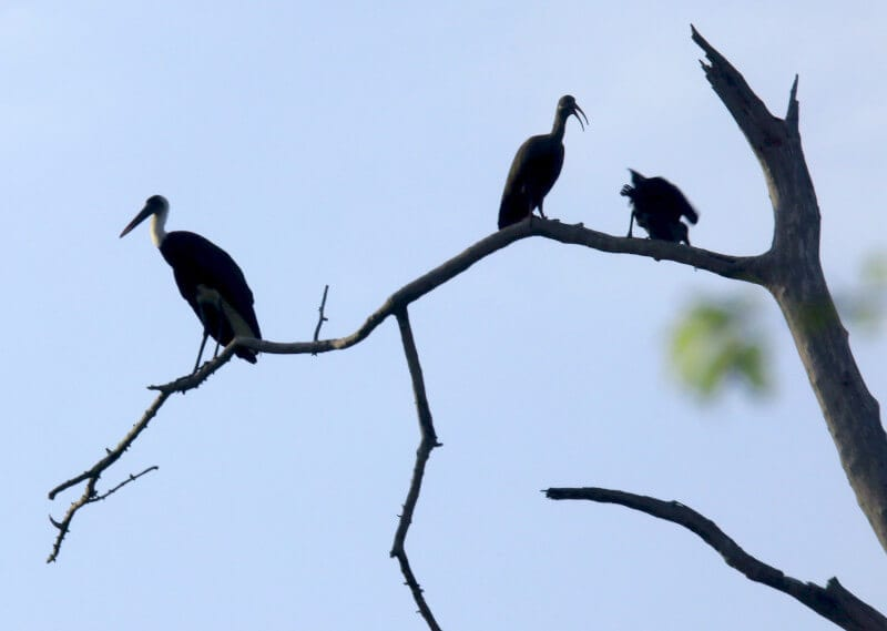 A pair of Woolly Necked Storks perched on a dead tree Mole NP