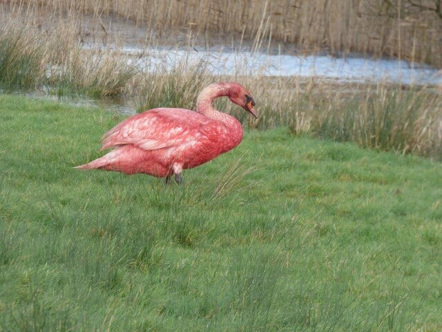 Blood Covered Swan on Pevensey Levels January