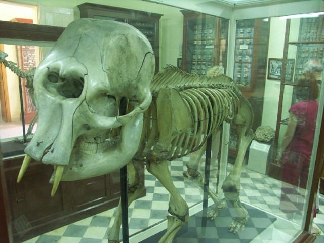 MalDia Dwarf elephant skeleton found at Ghar Dalam Cave a link between the past bridge between Europe and Africa