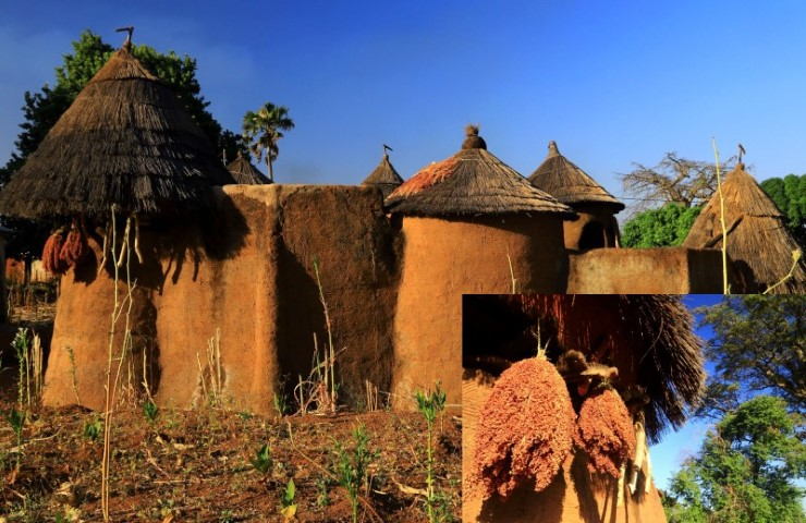Mud walled and conical thatch of a Tatas Somba and drying Sorghum