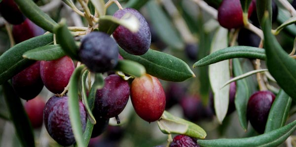 MalDia Olives ready to harvest