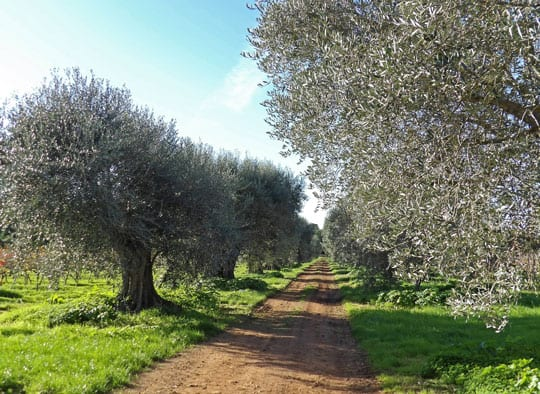 Olive trees at Lerins islands