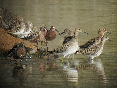 MalDia A variety of birds mostly migratory thrive off the marine life in the salty pools