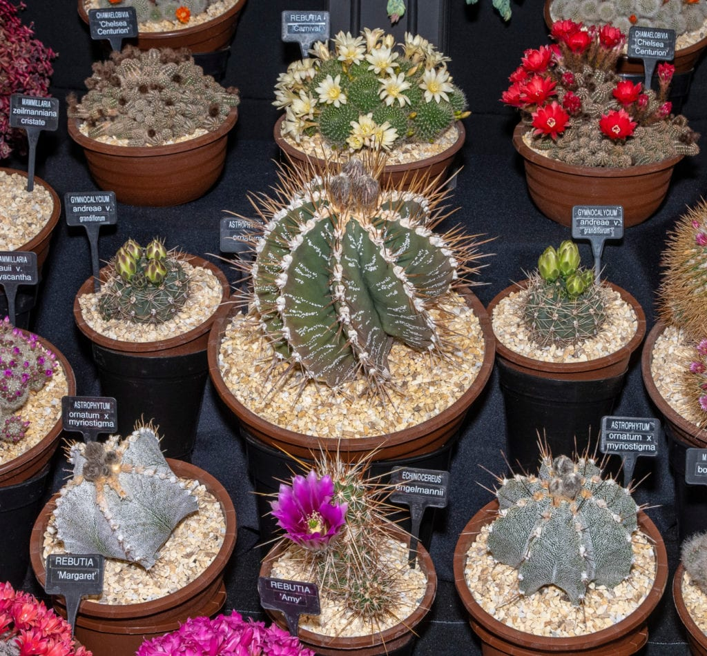 Pic Amazing cacti in the Floral Marquee