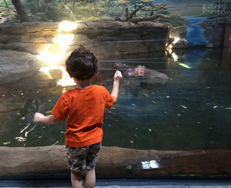JC checking out the Hippos at Adventure Aquarium