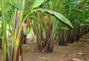 jenis dan manfaat pisang