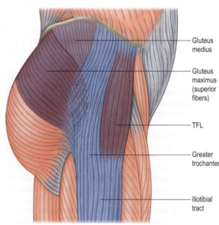 Anatomy trains it band muscles