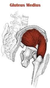 posterior gluteus medius muscle