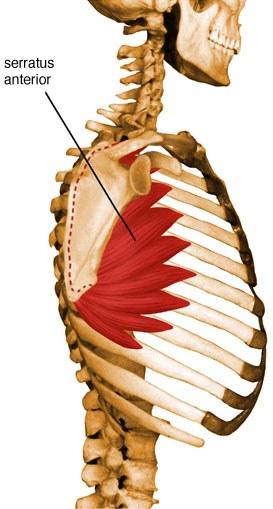Serratus anterior anatomy