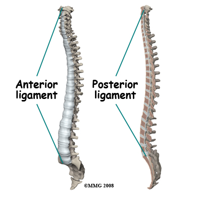 anterior and posterior longitudinal ligament
