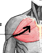 Pectoralis major line of pull 1