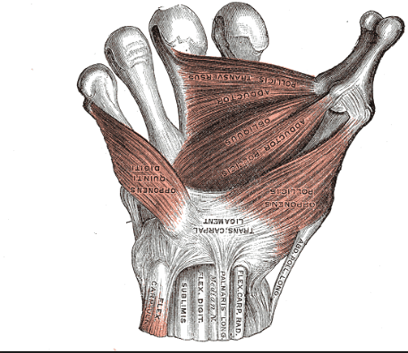 Gray's anatomy flexor retinaculum