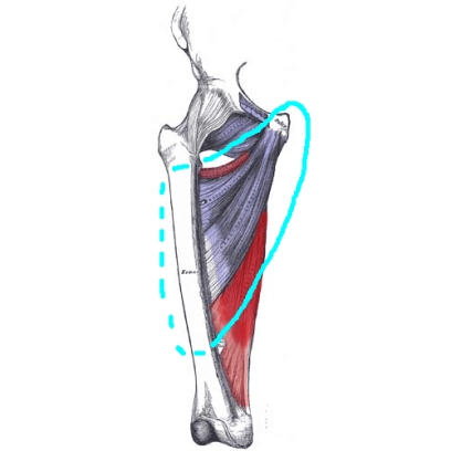 Adductor Magnus front view with adductor circle