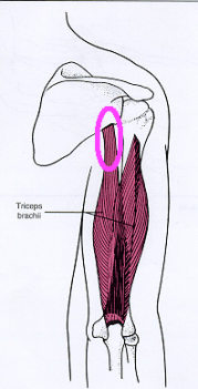 Triceps brachii with scapular attachment circle