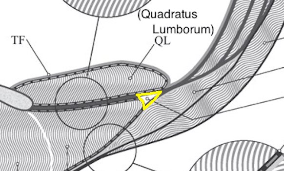 lateral raphe lumbar triangle outlined