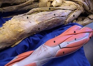 quadricep and model cadaver anatomy