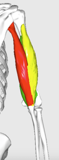 triceps brachii back posterior view