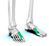 first-metatarsals