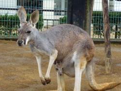 姫路市立動物園のカンガルー