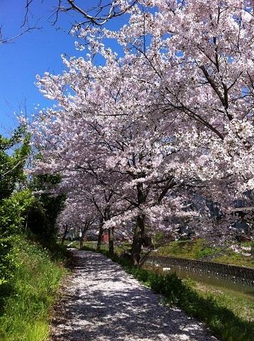 神戸市西区岩岡の桜並木(3)