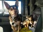 Diesel and Doggy. My full-time truck pups.
